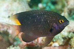 BD-130713-Maldives-0510-Plectroglyphidodon-lacrymatus-(Quoy---Gaimard.-1825)-[Whitespotted-devil].jpg